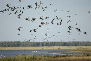 Стрельба гусей на перелетах