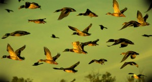 Стрельба уток на перелетах