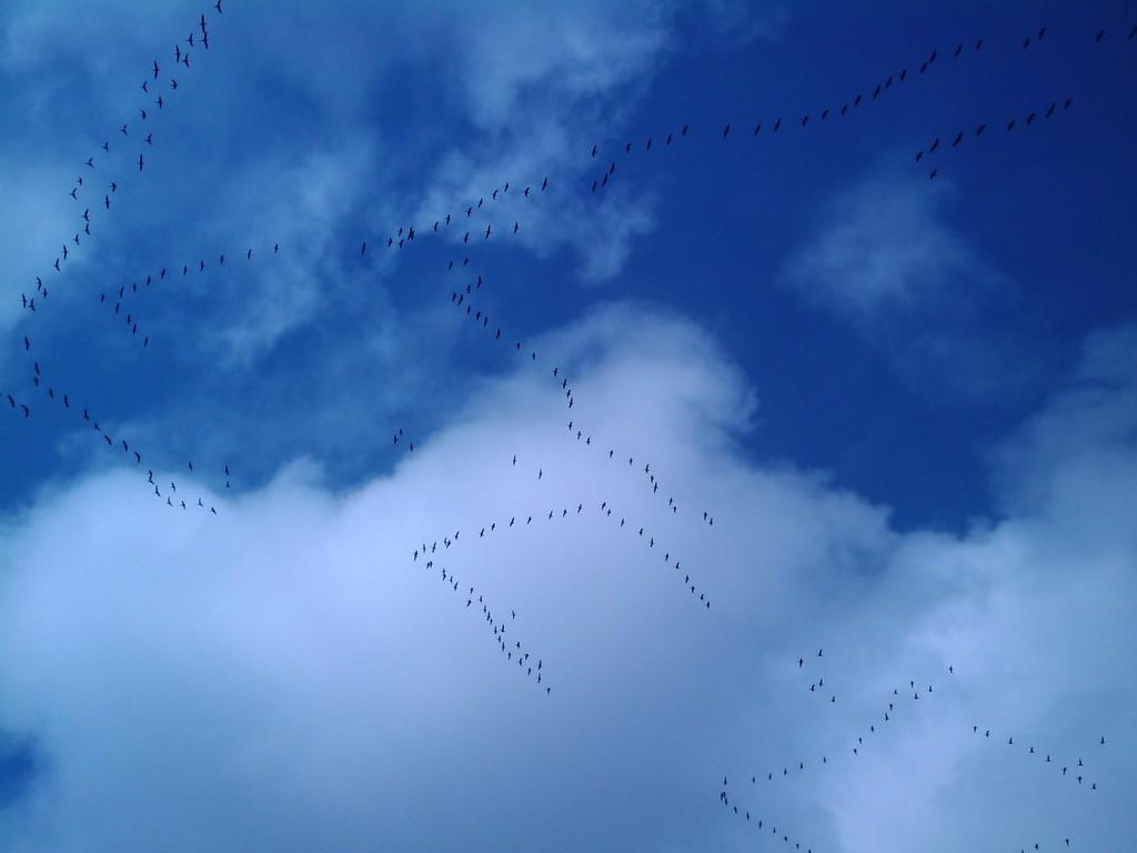 Прилет гуся 2012